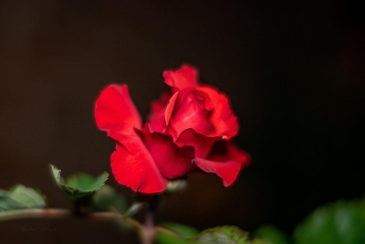 Юная роза - Николай Гирш