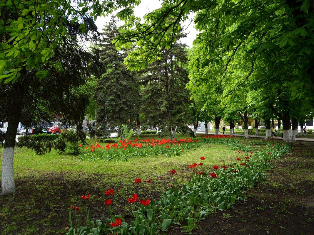 Шахты. Цветут тюльпаны в сквере на пл. Ленина. - Пётр Чернега