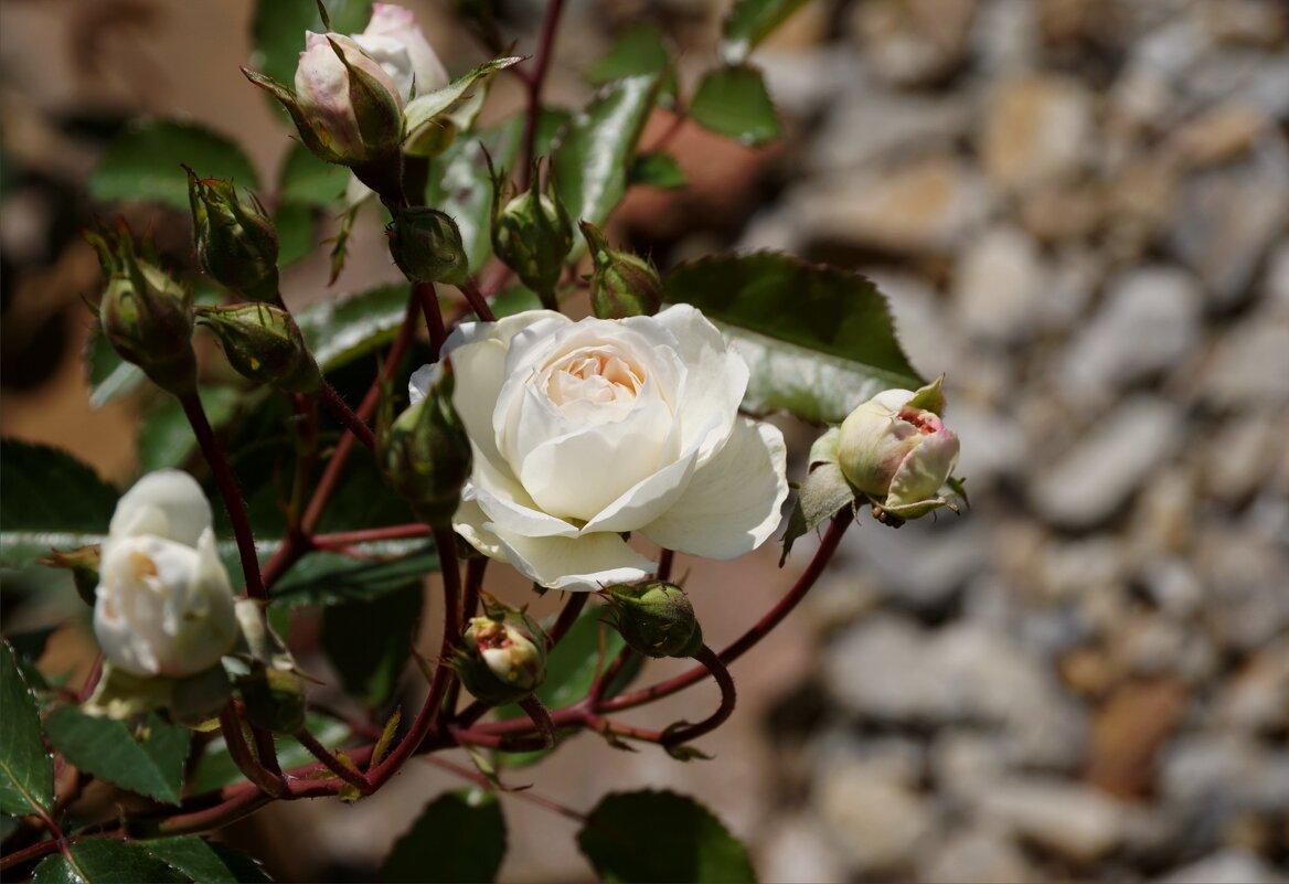 Белые розы - Наталия Григорьева