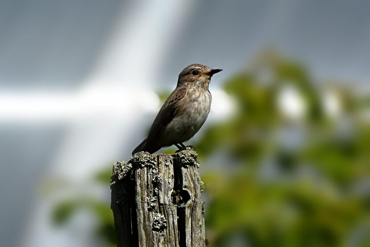мухоловка - linnud