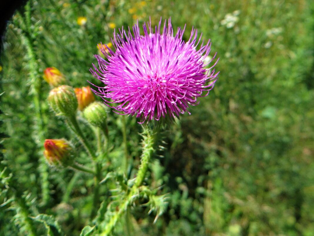 Розовый цветочек.Чертополо́х колю́чий, или акантоли́стный (лат. Cárduus acanthoídes) - ivan