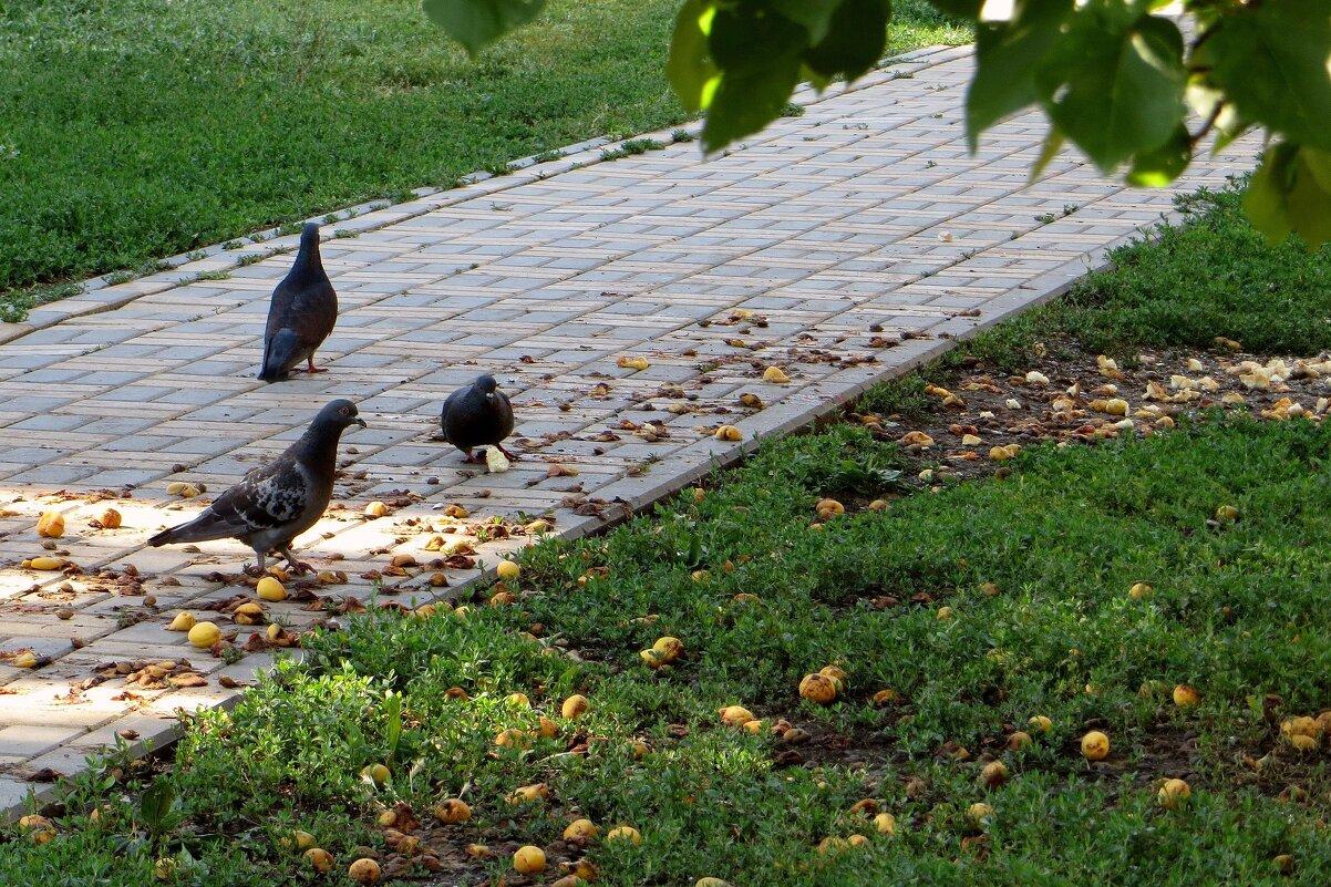 Даже голуби недоумевают, почему абрикосы никому не нужны... - Татьяна Смоляниченко