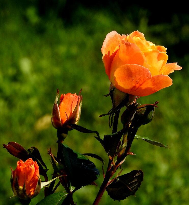 роза - ИННА POROHOVA