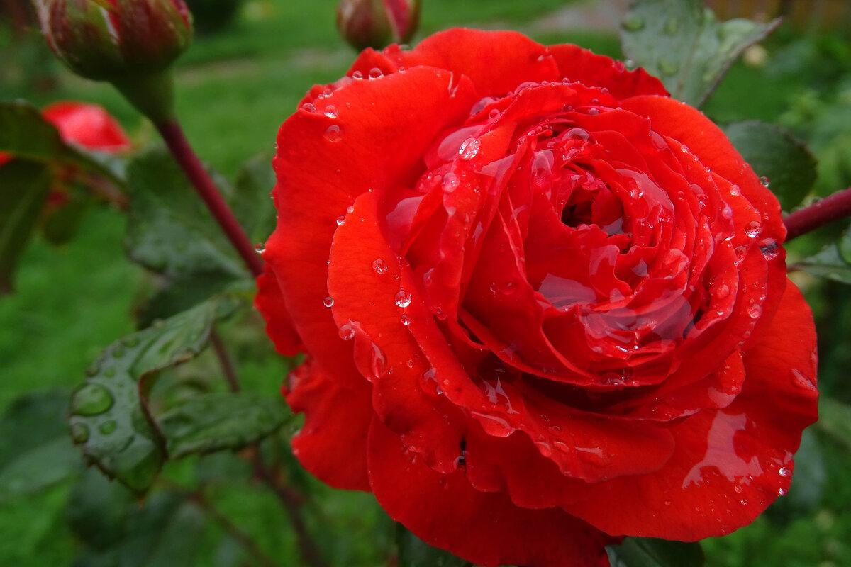 Роза - Надежда К