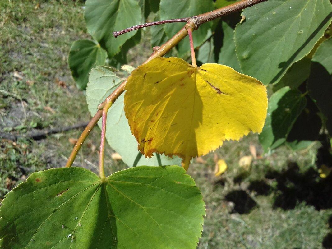 Жёлтый лист - Сапсан