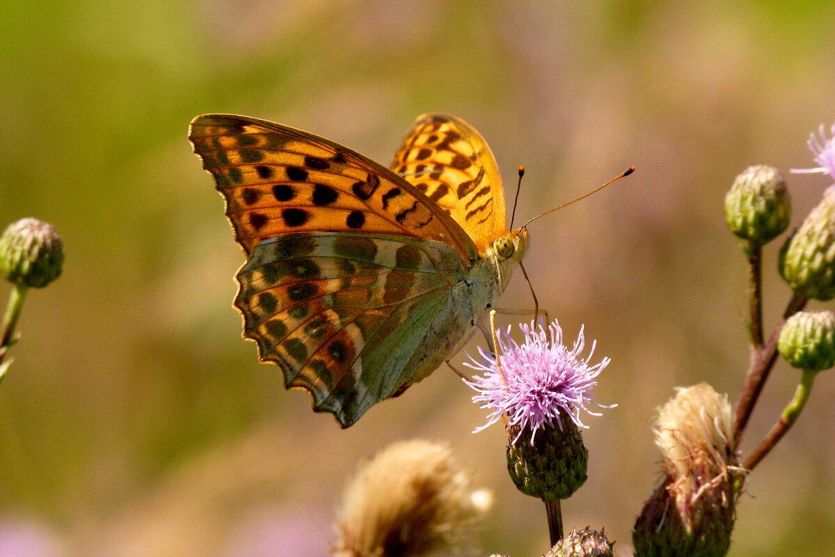 ну вот и бабочки...15 - Александр Прокудин