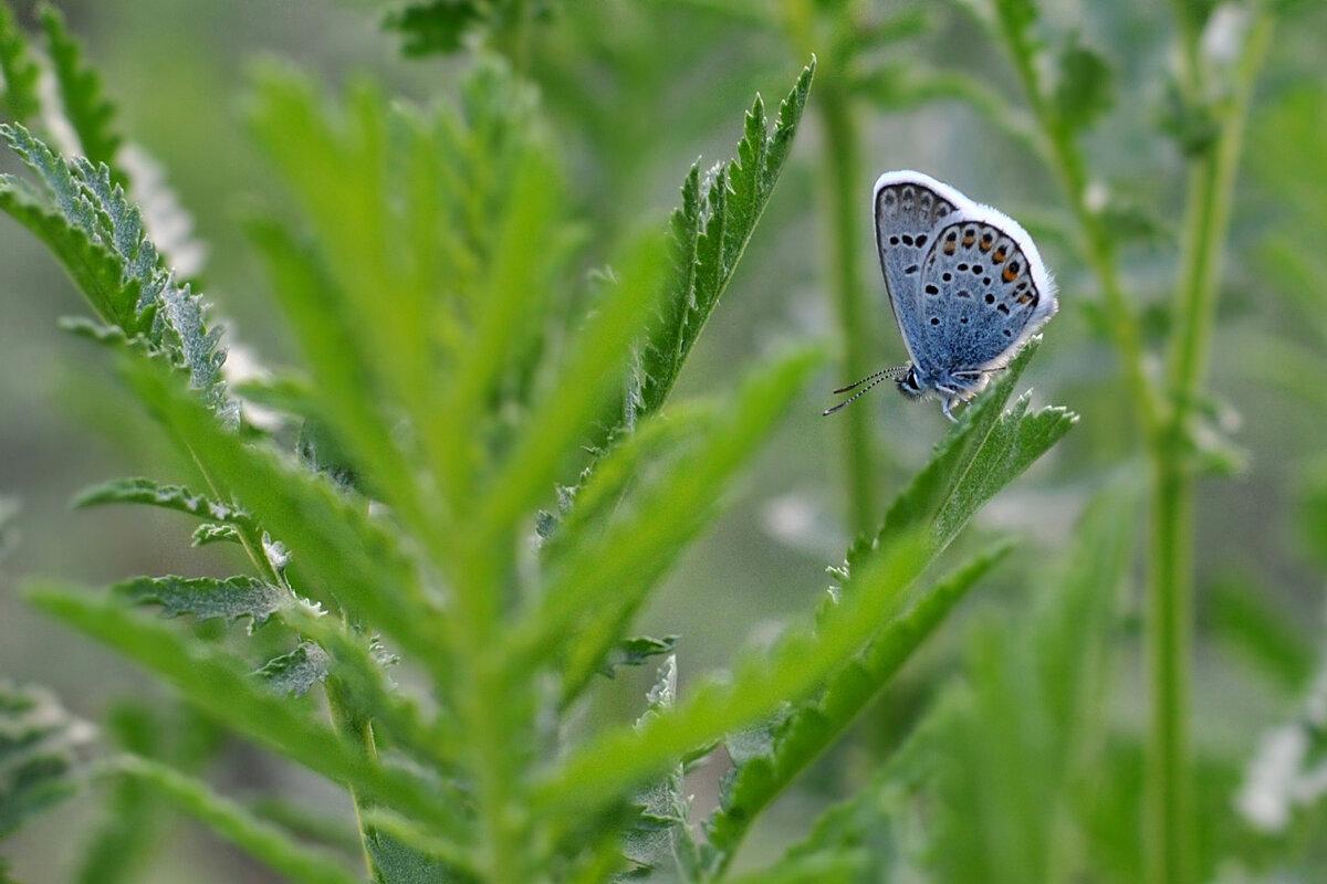 Голубянка - Любовь Р