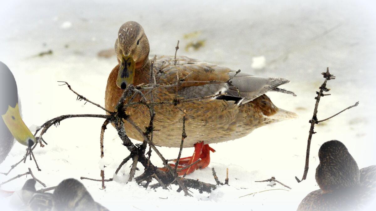 Утки зимующие на Большом пруду - 1 - Сергей