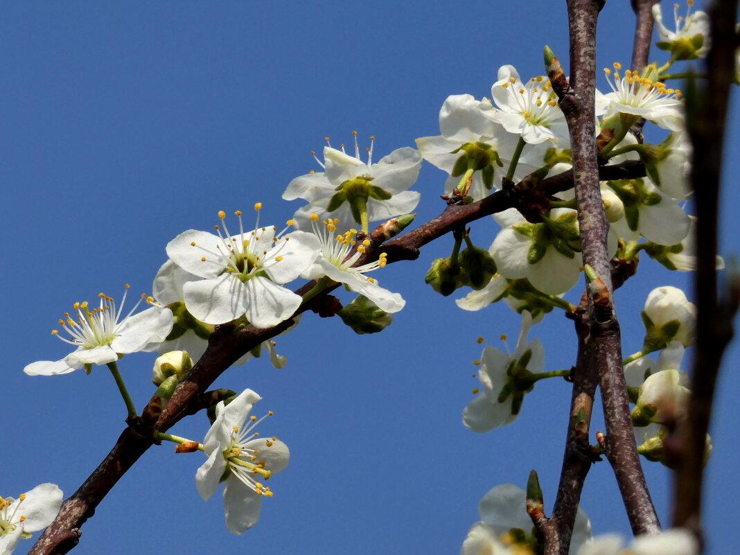 Цветет сливовое дерево - Heinz Thorns