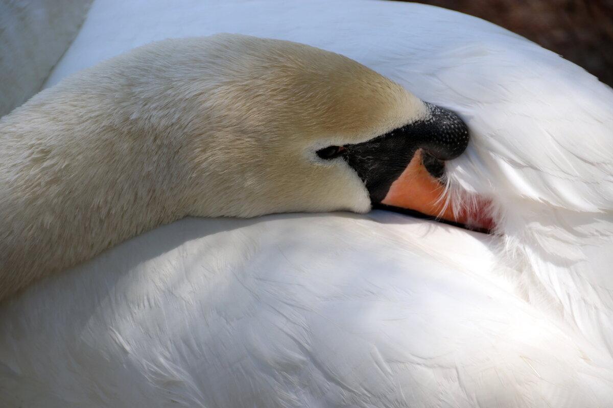 Грустный лебедь... - Любовь С.