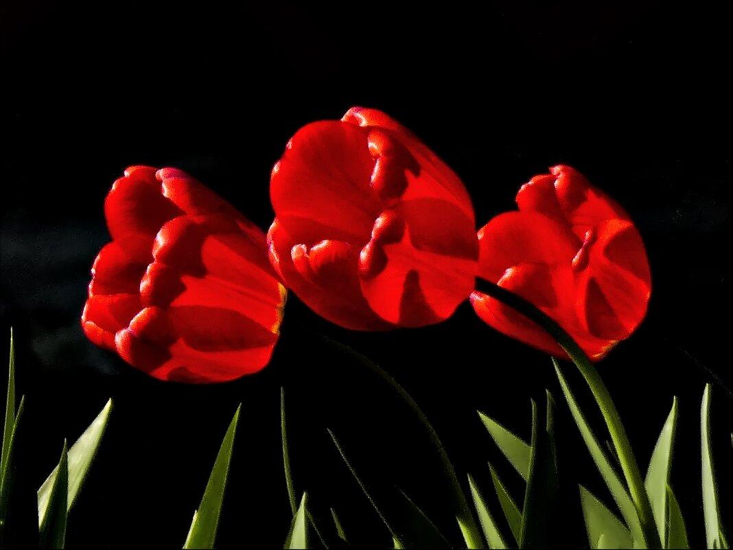 Алые тюльпаны - Валентина *