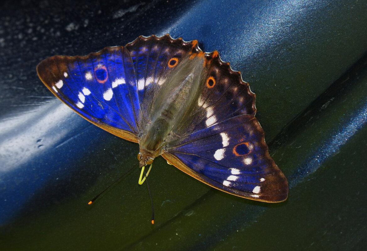 бабочки обживают моё авто...15 - Александр Прокудин