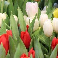 Декабрьские тюльпаны в Вене :: Светлана Сироткина