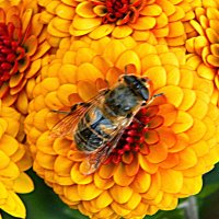 пчелка :: Александр Корчемный