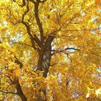 Осенний дуб :: Елена Миронова