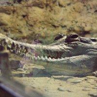 crocodile :: Arina Kekshoeva