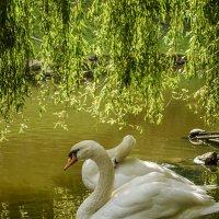 Лебедь :: Виктор
