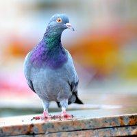 голубь :: Виктор