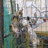 Алле, не спеши!-3-из серии Кошки очарование мое! :: Shmual Hava Retro