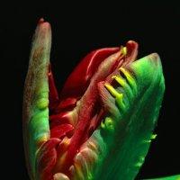 Хищный тюльпан :: Цветков Виктор Васильевич