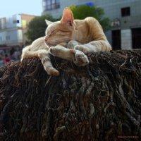 кошачий король-спать изволят-из серии Кошки очарование мое! :: Shmual Hava Retro