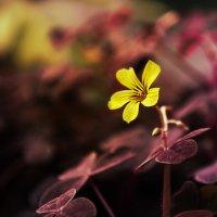 Жолтенький цветочек :: Виктор