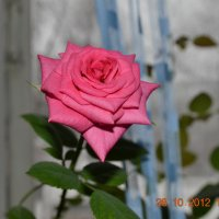 Роза :: Daria Zaitsieva