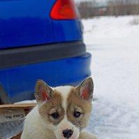 Выставка охотничьих собак :: Ольга Барташевич