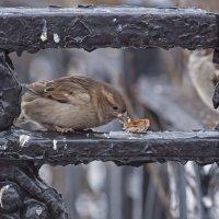Воробьиный завтрак :: Вячеслав Касаткин