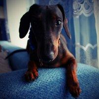 любимая собака) :: Ксения Трапезникова
