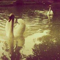 лебеди :: nino alania