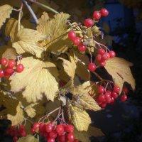 Калина, осенняя ягода! :: Soloveika ***