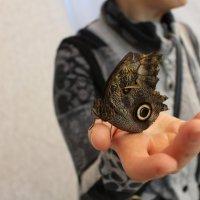 бабочка-сова :: Ольга Чазова