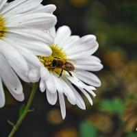 Пчёлка :: Алина Белич