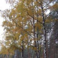 Березы осенью :: Надежда Сорокина