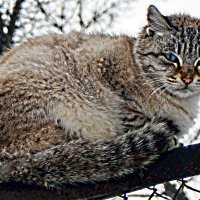«Голубоглазый кот» :: Александр NIK-UZ