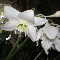 Комнатное растение, цветок :: Soloveika ***