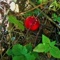 В лес по грибы... :: Ольга Кривых