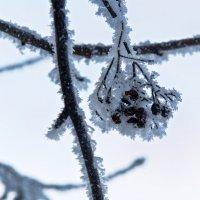 Зимняя рябина :: олег