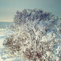 Снежный куст 2 :: Юрий Крутский