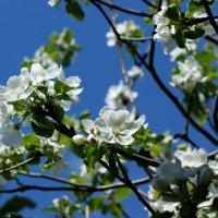 Яблони в цвету :: Светлана Белова