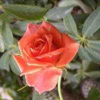 rose :: Галина R...