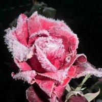 Роза :: Румия Сибатова