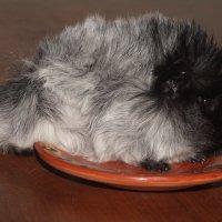 Свинка морская перуанская чалая черная :: Александр Аксёнов