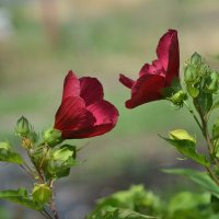 Встретились как-то две розы суданские, стали судачить о жизни в саду :: Viktor Bratan