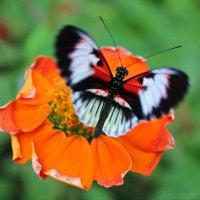 Бабочка :: Павел Белоус