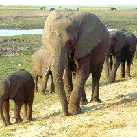 Ботсвана. Слоны на прогулке :: Вячеслав Мишин