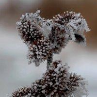 Дурнишник колючий в зимнем убранстве :: Dr. Olver