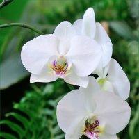 Орхидея. :: Ирина )