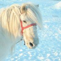 Якутская лошадка :: Ксения Угарова